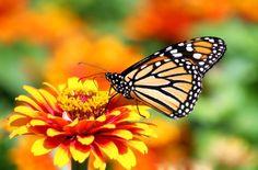 5 Big Zinnia Flowers for a Busy Butterfly Garden