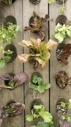 Anne Phillips' edible wall of lettuces, arugula, Swiss chard, mustard, strawberries and culinary herbs Modern small-space vertical potager (ornamental vegetable/kitchen garden) built from pallets