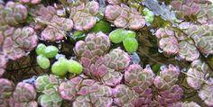 Salviniaceae. - Buscar con Google