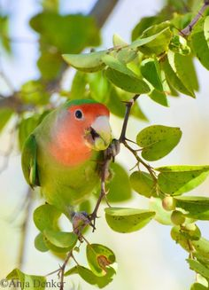 Rosy-faced lovebirds are found in the drier, more open landscapes in SW Africa from SW Angola across most of Namibia to the lower Orange River valley in NW South Africa. (Anja Denker)