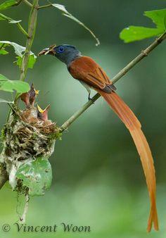 壽帶鳥Asian Paradise Flycatcher( Terpsiphone paradisi)