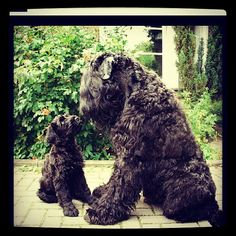 How could I not repin this!! Black Russian Terrier #dogs #animal #russian #terrier