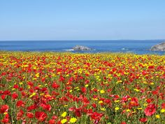 The poppies and corn marigolds in flower on West Pentire Headland, Crantock, Cornwall - truly sublime and local to me!