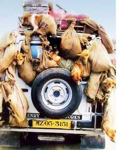 Live transport of dogs to slaughter. THIS IS OUTRAGEOUS!!! How can we stop this abuse??