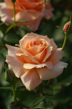 'Apricot Candy' | Hybrid Tea Rose. Bred by Alain Meilland (France, 2006)