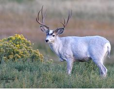Dilute (almost a lavender colored) Mule deer