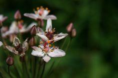 Butomus umbellatus (flowering rush)