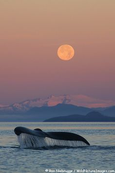 Humpback Whale dives at sunset, Inside Passage, Southeast, Alaska.                                                                                                                                                     More