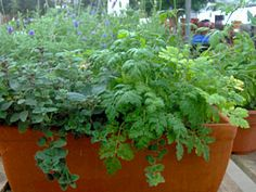 The trick to growing herbs inside is providing the right environment -- the amount of light, water, fertilizer, and humidity needed by the different herbs. Healthy herb plants double as decorative houseplants, too.