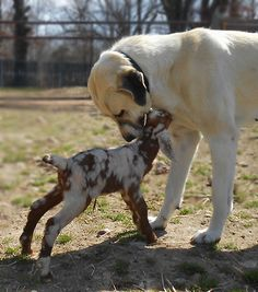 Anatolian Shepherd and goats... SC working dog Breeder...