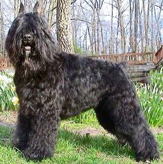 The monks at the Ter Duinen monastery in Flanders, Belgium, were among the earliest known breeders. Their Bouviers are recorded as having been bred from imports such as Irish wolfhounds and Scottish deerhounds with local farm dogs, until the predecessor of the modern Bouvier des Flandres was obtained