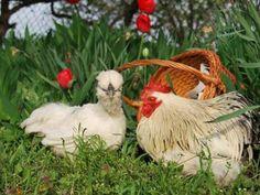 В основном на домашних подворьях выращивают и содержат кур яйценоского направления продуктивности.  http://kurinyjdom.ru/razmnozhenie-kurits/faktory-vliyayushchie-na-produktivnost.html