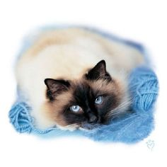 Birman Cat HEAT PRESS TRANSFER PRINT for T Shirt Sweatshirt Fabric Tote #279b #AB