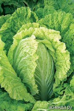 Выращивание пекинской капусты имеет свои особенности по сравнению с обычной белокочанной родственницей...