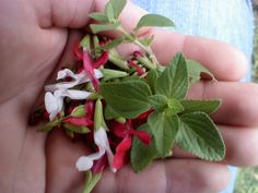 Salvia microphylla (Baby sage)