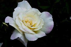 'Maidens Blush' hybrid floribunda rose, photo by me Love Flowers, Fresh Flowers, Floribunda Roses, Flower Gardening, Florals, Blush, Yellow, Plants, Color