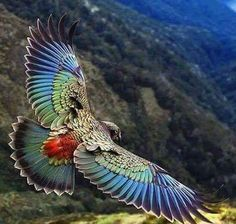 Parrot found only in the South Island of New Zealand and the only alpine pa… Kea. Parrot found only in the South Island of New Zealand and the only alpine parrot in the world! Pretty Birds, Beautiful Birds, Animals Beautiful, Beautiful Butterflies, Beautiful Pictures, Animals Amazing, Beautiful Gorgeous, Amazing Photos, Simply Beautiful