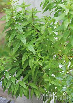 Sitruunaverbena (Aloysia triphylla) kuuluu sitruunanmakuisten yrttien parhaimmistoon. Se lisätään pistokkaista ja talvetetaan viileässä paikassa. Yrtti tunnetaan myös nimellä lippia. http://www.kotipuutarha.fi/puutarhavinkit/kasvata-herkkuja/yrttien-kasvatus.html