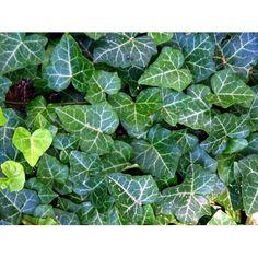 "Buy English Ivy 4 Plants - Hardy Groundcover - Great Bonsai -1 3/4"" Pots at Walmart.com"