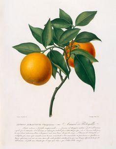 Hand re-touched coloured aquatint of Citrus aurantium (Seville orange) by artist G. Angiolini and engraver G. Pera, one of 42 plates from 'Raccolta di fiori frutti ed agrumi.' Creator: Targioni-Tozzetti, Antonio (1785-1856) (Author). Date: c.1822-1830