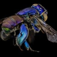Orchid Bees!