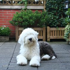 poodle mix old english dog Sheep Dog Puppy, Sheep Dogs, Doggies, Cute Puppies, Cute Dogs, Dogs And Puppies, Dog Photos, Dog Pictures, Old English Sheepdog Puppy