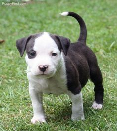 American Staffordshire Terrier- Cant wait to get one!