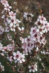 Leptospermum (Aussie blossom - Martin PBR) Shrub to FS Flowers late winter and spring Yearly pruning after flowering Australian Garden, Yearly, Native Plants, Shrubs, Habitats, Flora, Cottage, The Incredibles, Gardening
