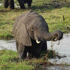 Elephant paradise at chobe river!  .  #elephant #chobe #choberiver #elefanten #river #botswanawildlife #safari #earthofficial #africaninspired #animalfanatics #iloveanimals #awasome #fiftyshades_of_nature #cuteanimals #botswana #beautifulcreatures #mypictures #travelgram #intothewild #fotofanatics_nature_ #travelblogger #reiseblogger_de #photooftheday #collectmoments #ig_naturepictures #африка #azbuka #africa #закат