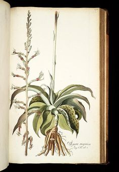 vol. 2 - Icones plantarum rariorum - Biodiversity Heritage Library