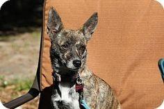 tampa, FL - Chihuahua Mix. Meet Phoebe, a dog for adoption. http://www.adoptapet.com/pet/14724093-tampa-florida-chihuahua-mix