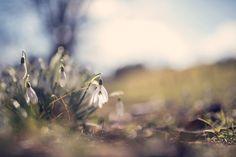 snowdrop by Jessica Tekert on 500px