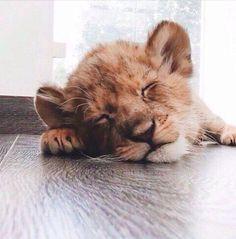 lion cub siesta ; ). in apartment!