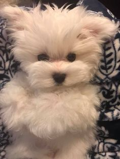 Puppies And Kitties, Teacup Puppies, Cute Puppies, Cute Dogs, Doggies, Cute Funny Animals, Cute Baby Animals, Animals And Pets, Maltese Dogs