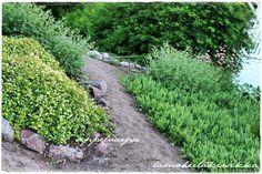 maanpeittokasvit, seppelvarpu lamohietakirsikka