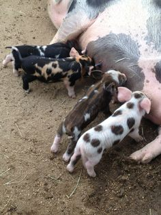 piglets are the best they are precious in His sight Visit me on my web site as well @ http://www.messiahsdisciple.com