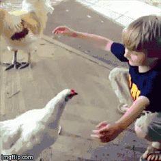Come here chicken