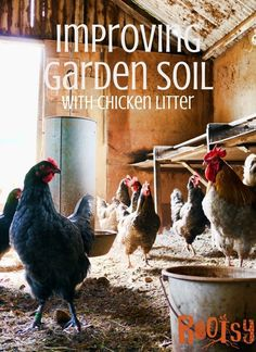 chickens in the barnyard Improving soil with chicken litter is an organic method for feeding your garden and a way to use your used livestock bedding.One of the perks of homesteading is that you can use waste from one area to enhance or grow another area. Rootsy.org
