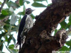 As surpresas do Parque do Ibirapuera: Pica-pau-de-banda-branca (Dryocopus lineatus). São Paulo/SP, Maio/14.
