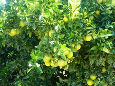 La variedad Navelina en fase de maduracion, en el mes de Septiembre.