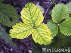 Chloroza żelazowa – żółknięcie najmłodszych liści, nerwy pozostają zielone.
