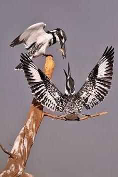 Foto Pied Kingfishers