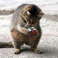 Rubik solving kitty.. Wait wait.. i know i can do it..