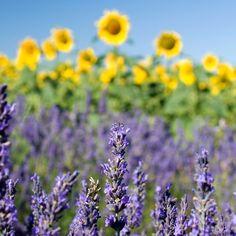 Sonnenblumen 'beleuchten' Lavendel - großartige Kulisse!