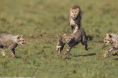 cubs chasing Thomson's Gazelle fawn as mother cheetah looks on