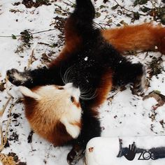 It's Snow Day for the Red Panda Twins, 'Carson' and 'Willa', at Lincoln Children's Zoo! Learn more at: http://www.zooborns.com/zooborns/2014/12/snow-day-for-red-panda-twins.html
