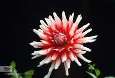 Dahlia - Pinned by Mak Khalaf Nature beautifulflowergardennatural by arbor