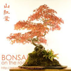 ヤマモミジの石付盆栽Japanese maple, Yama-momiji, bonsai on a rock2015.11.1 撮影bonsai on the rock @BASEbonsai on the rock @Zazzle