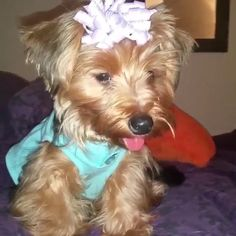 """This is Heaven an adorable 8 1/2 month old Yorkie. Heavens mom recently found us and we are so happy that we could provide this cutie with some bows! Here Heaven is wearing her """"Lilac Explosion"""" Bow and we think she is just owning the look!"""