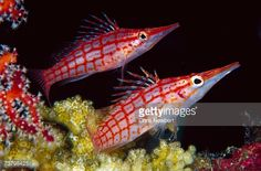 Stock Photo : Longnose Hawkfish (Oxycirrhites typus), pair, 60 feet deep, Papua New Guinea